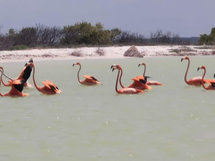 różowe flamingi Lagartos